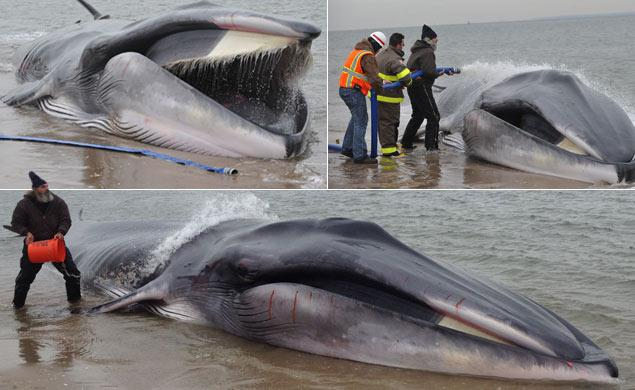 60-Foot Whale Stranded On NY Beach