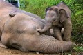 10 Pygmy Elephants Die In Borneo; Poison Suspected