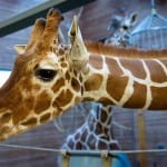 Copenhagen Zoo euthanizes young giraffe, feeds him to the lions