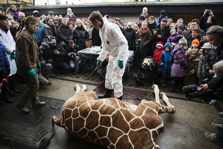 Zoo staff gets death threats after giraffe killing
