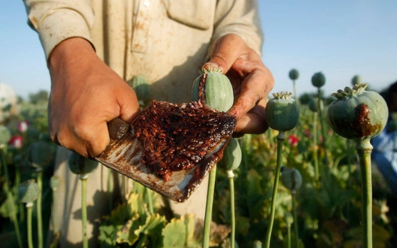 Afghan Poppy Crop Hits Record High