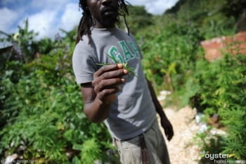 weed rasta in jamaica legal weed descriminalised