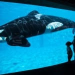 SeaWorld to Stop Breeding Killer Whales [VIDEO]