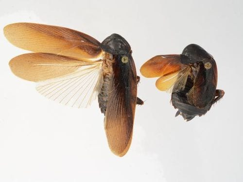 New type of cockroach found in US for 1st time